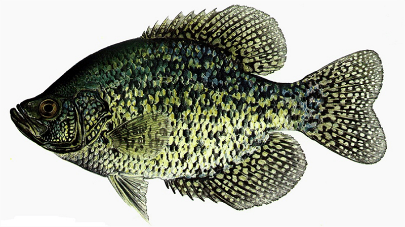 Crappie_Fish_can_be_Found_Under_the_Icy_Water