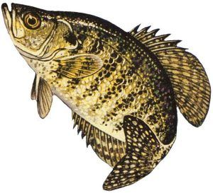 Best Angler Tips and Tricks to Catch Crappie