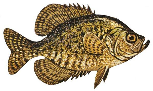 Black Crappie Type of Fish