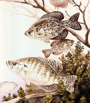 Black and White Crappie Fish