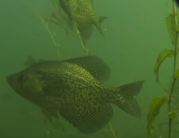 Crappie in the Brush During Spawning Season