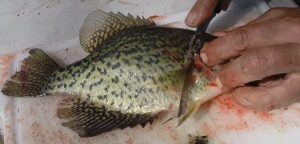 How to Properly Fillet a Crappie