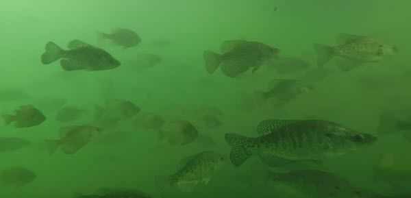 School of Crappie Fish